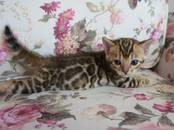 Кошки, котята Бенгальская, цена 25 000 рублей, Фото