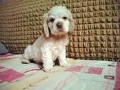 Собаки, щенки Американский коккер, цена 35 000 рублей, Фото