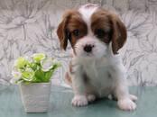 Собаки, щенки Кавалер-Кинг-Чарльз спаниель, цена 45 рублей, Фото