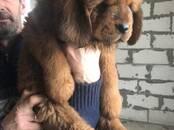 Собаки, щенки Тибетский мастиф, цена 45 000 рублей, Фото