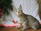 Кошки, котята Пиксибоб, цена 10 000 рублей, Фото