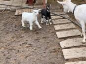 Животноводство,  Сельхоз животные Козы, цена 2 рублей, Фото