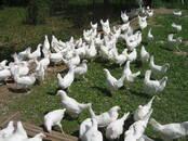 Птицеводство Куры, цена 350 рублей, Фото