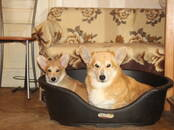 Собаки, щенки Вельш корги пемброк, цена 50 000 рублей, Фото