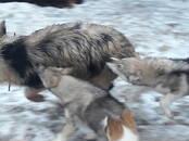 Собаки, щенки Западно-Сибирская лайка, цена 50 000 рублей, Фото