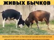 Животноводство,  Сельхоз животные Крупно-рогатый скот, Фото