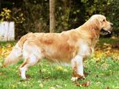 Собаки, щенки Золотистый ретривер, цена 35 000 рублей, Фото