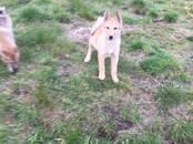 Собаки, щенки Западно-Сибирская лайка, цена 20 000 рублей, Фото