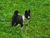 Собаки, щенки Русско-Европейская лайка, цена 20 000 рублей, Фото