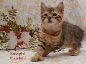 Кошки, котята Пиксибоб, цена 60 000 рублей, Фото