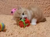 Кошки, котята Шотландская вислоухая, цена 8 000 рублей, Фото