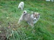 Собаки, щенки Западно-Сибирская лайка, цена 40 000 рублей, Фото