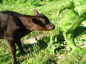 Животноводство,  Сельхоз животные Крупно-рогатый скот, цена 60 000 рублей, Фото