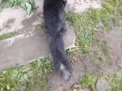 Кошки, котята Мэйн-кун, цена 12 000 рублей, Фото