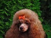 Собаки, щенки Той-пудель, цена 45 000 рублей, Фото
