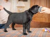 Собаки, щенки Лабрадор ретривер, цена 45 000 рублей, Фото