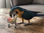 Попугаи и птицы Попугаи, цена 15 000 рублей, Фото