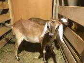 Животноводство,  Сельхоз животные Козы, цена 23 000 рублей, Фото