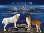 Собаки, щенки Среднеазиатская овчарка, цена 40 000 рублей, Фото