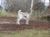 Животноводство,  Сельхоз животные Козы, цена 4 000 рублей, Фото