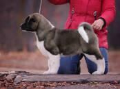 Собаки, щенки Американский акита, цена 50 рублей, Фото