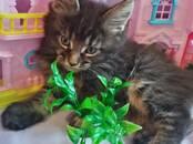 Кошки, котята Мэйн-кун, цена 15 000 рублей, Фото