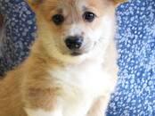Собаки, щенки Вельш корги пемброк, цена 75 000 рублей, Фото