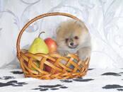 Собаки, щенки Померанский шпиц, цена 50 000 рублей, Фото
