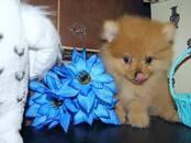 Собаки, щенки Померанский шпиц, цена 23 000 рублей, Фото