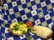 Грызуны Морские свинки, цена 1 500 рублей, Фото