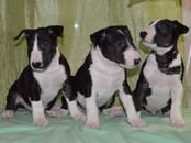 Собаки, щенки Бультерьер, цена 40 000 рублей, Фото