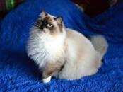 Кошки, котята Рэгдолл, цена 35 000 рублей, Фото