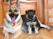 Собаки, щенки Восточно-Европейская овчарка, цена 30 000 рублей, Фото