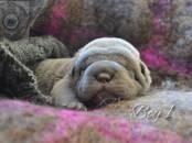 Собаки, щенки Шарпей, цена 25 000 рублей, Фото
