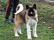 Собаки, щенки Американский акита, цена 35 000 рублей, Фото