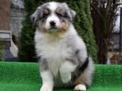 Собаки, щенки Австралийская овчарка, цена 70 000 рублей, Фото