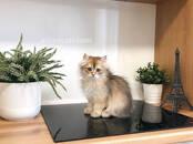 Кошки, котята Британская длинношёрстная, цена 70 000 рублей, Фото