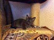 Кошки, котята Бурма, цена 35 000 рублей, Фото