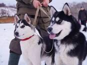 Собаки, щенки Восточно-Сибирская лайка, цена 10 000 рублей, Фото