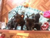 Собаки, щенки Русско-Европейская лайка, цена 5 000 рублей, Фото