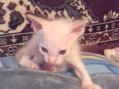 Кошки, котята Донской сфинкс, цена 5 000 рублей, Фото