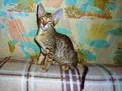 Кошки, котята Ориентальная, цена 10 000 рублей, Фото