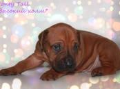 Собаки, щенки Родезийский риджбек, цена 30 000 рублей, Фото