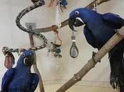 Попугаи и птицы Попугаи, цена 20 000 рублей, Фото