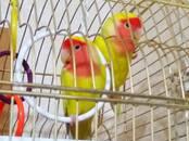 Попугаи и птицы Попугаи, цена 5 рублей, Фото