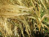 Сельское хозяйство Семена и рассада, цена 16 рублей, Фото