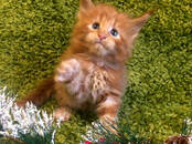 Кошки, котята Мэйн-кун, цена 50 000 рублей, Фото