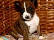 Собаки, щенки Басенджи, цена 50 000 рублей, Фото