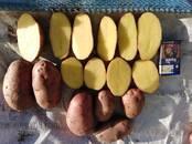 Продовольствие,  Овощи Картофель, цена 5 рублей/кг., Фото