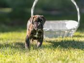 Собаки, щенки Кане Корсо, цена 30 000 рублей, Фото